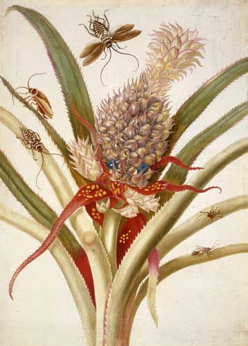 "Amazing Rare Things: The Art of Natural History in the Age of Discovery The Queen's Gallery, Palace of Holyroodhouse 2 March - 16 September 2007 Maria Sibylla Merian (1647-1717) Pineapple with cockroache, c.1701-05 Credit line: The Royal Collection © 2006, Her Majesty Queen Elizabeth II This photograph is issued to end-user media only. It may be used ONCE only and ONLY to preview or review the exhibition ""Amazing Rare Things: The Art of Natural History in the Age of Discovery"". Photographs must not be archived or sold on. Contact: Public Relations and Marketing, the Royal Collection 020 7839 1377"