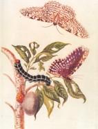 Metamorphosis_of_a_Butterfly_Merrian_1705