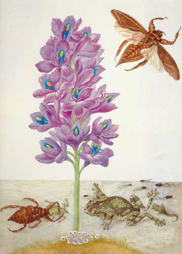 """Amazing Rare Things: The Art of Natural History in the Age of Discovery The Queen's Gallery, Palace of Holyroodhouse 2 March - 16 September 2007 Maria Sibylla Merian (1647-1717) Water hyacinth, tree-frogs and giant water bugs, c.1701-05 Credit line: The Royal Collection © 2006, Her Majesty Queen Elizabeth II This photograph is issued to end-user media only. It may be used ONCE only and ONLY to preview or review the exhibition """"Amazing Rare Things: The Art of Natural History in the Age of Discovery"""". Photographs must not be archived or sold on. Contact: Public Relations and Marketing, the Royal Collection 020 7839 1377"""